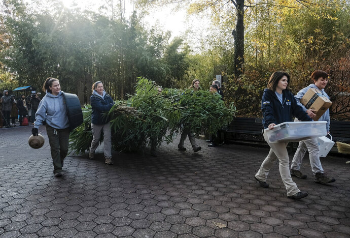 Smithsonian National Zoo employees carry bamboo to a FedEx transport truck as giant panda Bei Bei departs the Smithsonian National Zoological Park Tuesday, Nov. 19, 2019, in Washington. (AP Photo/Michael A. McCoy)