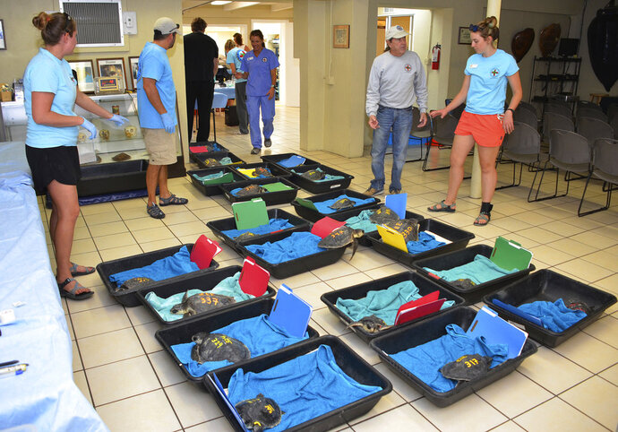 In this photo provided by the Florida Keys News Bureau, staff members at the Florida Keys-based Turtle Hospital look at a portion of a group of 32 Kemp's ridley sea turtles after they were flown to the subtropical Keys in Marathon, Fla., Tuesday, Dec. 11, 2018. The 32 cold-stunned turtles were rescued between late November and early December off Cape Cod, Mass. Once the sea turtles are healthy enough to be released, they are to be returned to warmer waters off Florida. (Larry Benvenuti/Florida Keys News Bureau via AP)