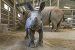 This Monday, Nov. 25, 2019, photo provided by San Diego Zoo Global shows a female southern white rhino calf in the Nikita Kahn Rhino Rescue Center at the San Diego Zoo Safari Park. The baby rhino born Thursday, Nov. 21, to an 11-year-old mother named, Amani, was conceived through artificial insemination. (Ken Bohn/San Diego Zoo Safari Park via AP)