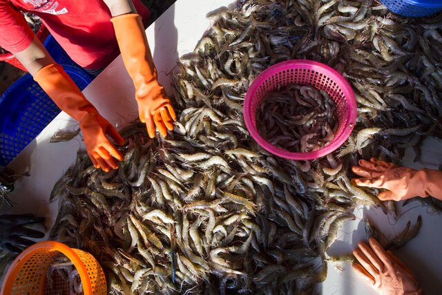 FILE- In this Wednesday, Sept. 30, 2015, file photo, female workers sort shrimp at a seafood market in Mahachai, Thailand. A report issued Tuesday by the U.N.'s International Labor Organization credits Thailand with improving working conditions in the fishing and seafood processing industry, but says that serious labor abuses remain. (AP Photo/Gemunu Amarasinghe, File)