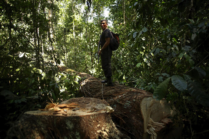 Tenetehara Indigenous man Romario Tembe, from the Ka'Azar, or Forest Owners, stands on a Piquiarana tree felled by illegal loggers, one of whom was found and apprehended nearby, as the group patrols their lands on the Alto Rio Guama reserve in Para state, near the city of Paragominas, Brazil, Tuesday, Sept. 8, 2020. Three Tenetehara Indigenous villages are patrolling to guard against illegal logging, gold mining, ranching, and farming as increasing encroachment and lax government enforcement during COVID-19 have forced the tribe to take matters into their own hands. (AP Photo/Eraldo Peres)