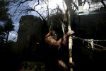 This Sept. 16, 2019 photo shows the orangutan Sandra in her enclosure at the former city zoo now known as Eco Parque, in Buenos Aires, Argentina.  Sandra shows little interest in the structure of beams and ropes built for her to climb on.  (AP Photo/Natacha Pisarenko)