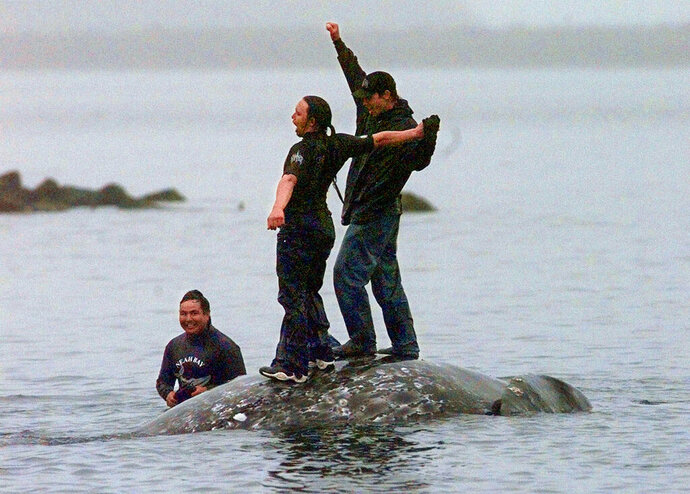 FILE - In this May 17, 1999, file photo, two Makah Indian whalers stand atop the carcass of a dead gray whale moments after helping tow it close to shore in the harbor at Neah Bay, Wash. Earlier in the day, Makah Indians hunted and killed the whale in their first successful hunt since voluntarily quitting whaling over 70 years earlier. Two decades after the Makah Indian tribe in the northwestern corner of Washington state conducted its last legal whale hunt from a hand-carved canoe, lawyers, government officials and animal rights activists will gather in a small hearing room in Seattle to determine whether the tribe will be allowed once again to harpoon gray whales as its people had done from time immemorial. (AP Photo/Elaine Thompson, File)