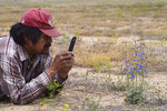 In this May 15, 2019 photo, Navajo botanist and geologist Arnold Clifford takes photos of a blue flower plant that is highly toxic to cattle in the Shiprock, N.M. desert . Clifford identified the plant as delphinium scaposum, scapose larkspur.  (Vida Volkert/Gallup Independent via AP)