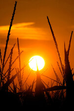 FILE - In this July 15, 2012 file photo, the sun rises over corn stalks in Pleasant Plains, Ill., during a drought. An AP data analysis of records from 1999-2019 shows that in weather stations across America, hot records are being set twice as often as cold ones. (AP Photo/Seth Perlman, File)