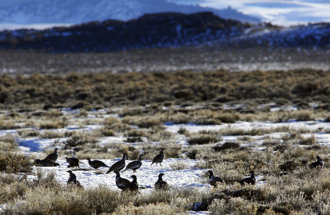 FILE - In this Feb. 9, 2015, file photo, sage grouse gather on the prairie near Pinedale, Wyo. A judge has halted plans for oil and gas drilling on vast areas of Wyoming and Montana, citing concerns about a sagebrush-dwelling bird. The U.S. Bureau of Land Management didn't adequately consider how the drilling would affect the greater sage grouse, nor an option to defer drilling in the bird's prime habitat, Idaho U.S. District Judge Ronald E. Bush ruled Wednesday, June 9, 2021. (Alan Rogers/The Casper Star-Tribune via AP, File)