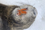 This photo taken Sept. 12, 2019, shows the head of a dead frozen nutria with prominent orange teeth that will be taken to a laboratory for a necropsy in Los Banos, Calif. With $10 million in state funding, the Department of Fish and Wildlife is preparing to deploy new tactics in its efforts to eradicate nutria. (AP Photo/Terry Chea)