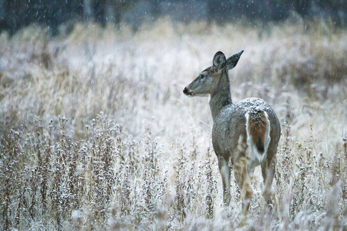 FILE - In this Oct. 22, 2012, file photo a whitetail doe pauses for a moment while walking through the first snow of the winter near Smith Lake in Kila, Mont. Scientists have developed a new way to test live animals for chronic wasting disease, a fatal affliction that showed up in Montana in 2017. (Patrick Cote/The Daily Inter Lake via AP)