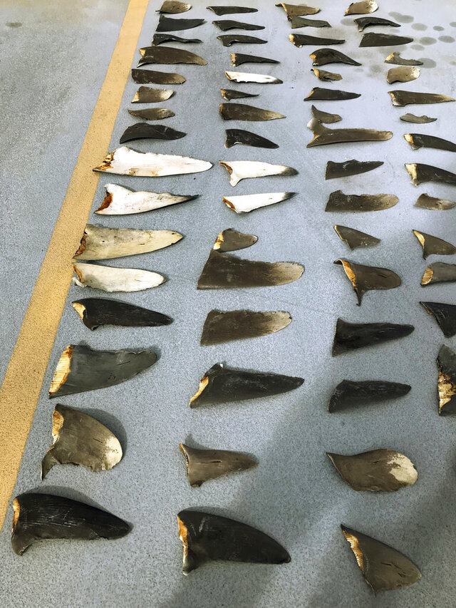 FILE - This Nov. 28, 2018, file photo provided by the United States Attorney's Office and introduced as evidence in court in Honolulu shows some of the hundreds of shark fins seized from a Japanese fishing boat. A business that owns a Japanese fishing boat pleaded guilty Thursday, Oct. 8, 2020 in a shark finning case. Hamada Suisan Co. Ltd. agreed to pay a $126,000 fine and forfeit another $119,000 because of an investigation that found shark fins in crewmembers' luggage in 2018. (U.S. Attorney's Office via AP, File)