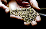 FILE - In this April 19, 2018, file photo, a man displays hemp seeds being prepared for sale to industrial hemp farmers at his facility in Monmouth, Ore. Draft rules released by the U.S. Department of Agriculture for a new and booming agricultural hemp industry have alarmed farmers, processors and retailers across the country, who say the provisions will be crippling if they are not significantly overhauled before they become final. (AP Photos/Gillian Flaccus, File)