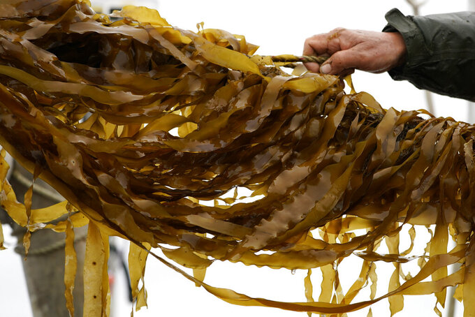 Farm-raised kelp is hauled aboard a barge for harvesting, Thursday April 29, 2021, off the coast of Cumberland, Maine.  Maine's seaweed farmers are in the midst of a spring harvest that is almost certain to break state records  (AP Photo/Robert F. Bukaty)