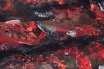 Kokanee Salmon are shown in the Utah Division of Wildlife Resources, Wednesday, Sept. 18, 2019, along the Strawberry River, about 20 miles southeast of Heber City, Utah. Utah Division of Wildlife Resources operates the Strawberry River fish trap where wildlife technicians collect eggs and milt from the Kokanee Salmon at spawning time. The salmon run goes from the end of August till October. (AP Photo/Rick Bowmer)