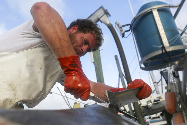 In this Feb. 12, 2020 photo, Ed Zirkel cuts the fins off of a shark after fishing off Madeira Beach, Fla. In the U.S., shark finning, the gruesome process of stripping living sharks of their fins, dumping the fish back in the water and leaving them to struggle for life, drown or bleed to death — has been outlawed since 2000. Two bills are currently moving through the Florida legislature to ban all fin sales, including those from fishing. (Chris Day/Fresh Take Florida via AP)