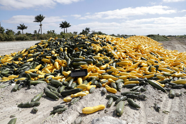 In this March 28, 2020, photo, a pile of ripe squash sits in a field, in Homestead, Fla. Thousands of acres of fruits and vegetables grown in Florida are being plowed over or left to rot because farmers can't sell to restaurants, theme parks or schools nationwide that have closed because of the coronavirus. (AP Photo/Lynne Sladky)