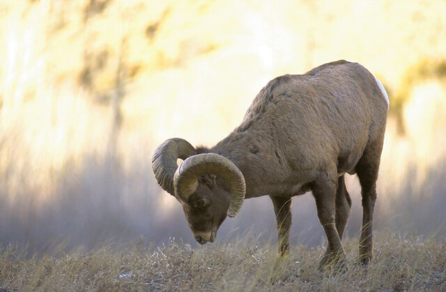 FILE - In this Dec. 28, 2004, file photo, a bighorn sheep ram grazes along the North Fork of the Shoshone River, just off Wyoming Highway between Cody, Wyo. and Yellowstone National Park. Wyoming officials plan a series of public meetings on how to protect the last bighorn sheep in the Teton Range. They're seeking recommendations from the public on an issue that could lead to closing off more areas in western Wyoming to backcountry skiing. Research suggests backcountry skiing displaces sheep from some of their best habitat, the Jackson Hole News & Guide reports. (Allison Batdorff/Billings Gazette via AP, File)