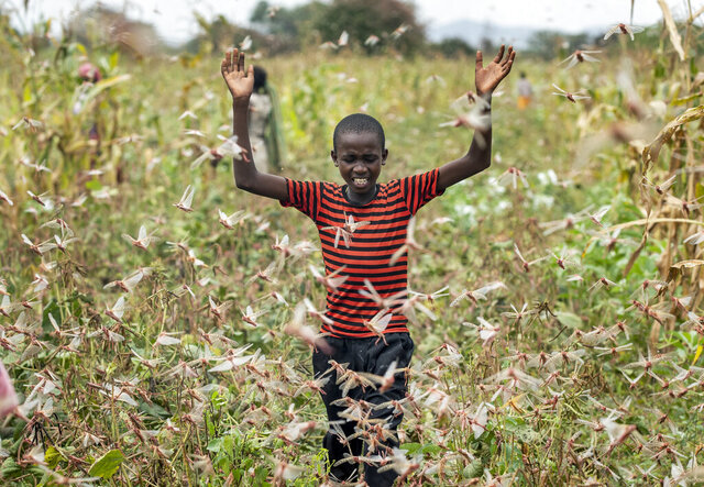 FILE - In this Friday, Jan. 24, 2020 file photo, a farmer's son raises his arms as he is surrounded by desert locusts while trying to chase them away from his crops, in Katitika village, Kitui county, Kenya. Locusts, COVID-19 and deadly flooding pose a