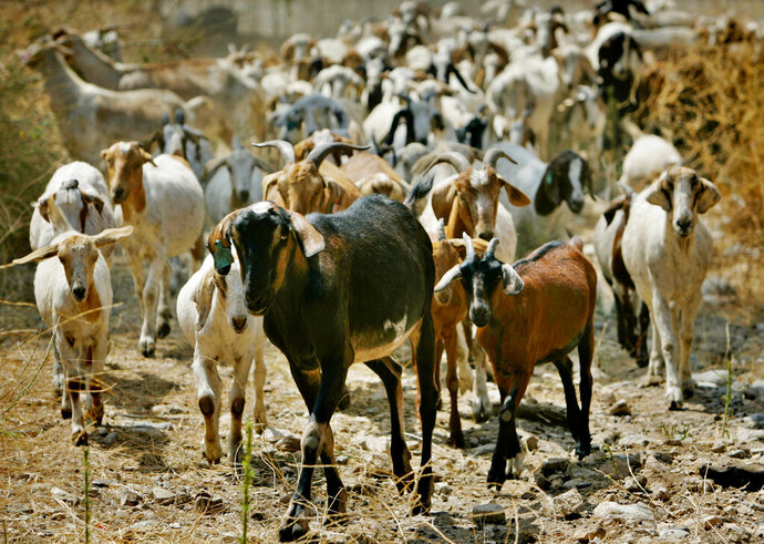 "FILE - In this Aug. 16, 2005, file photo, nearly 300 goats from a ranch in southern Oregon are led up to consume as much brush as they can in Sycamore Canyon Park in the hills above Claremont, Calif.  The threat of catastrophic wildfires has driven a Northern California town to launch a ""Goat Fund Me"" campaign to bring herds of goats to city-owned land to help clear brush.  Nevada City in the Sierra Nevada began the online crowdsourcing campaign last Dec. 2018, with the goal of raising $30,000 for the project.  (AP Photo/Reed Saxon, File)"