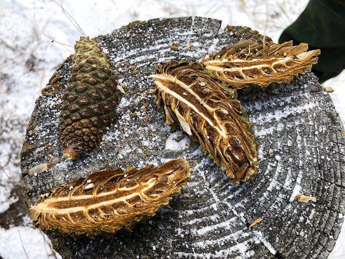 In this Thursday, Oct. 24, 2019, photo Ponderosa pine cones sit on a tree stump after being cut open during a demonstration at Bandelier National Monument near Los Alamos, N.M. A cone collecting effort is underway in parts of New Mexico and Colorado as conservationists and land managers work to gather seeds to restore forested landscapes following wildfire. (AP Photo/Susan Montoya Bryan)