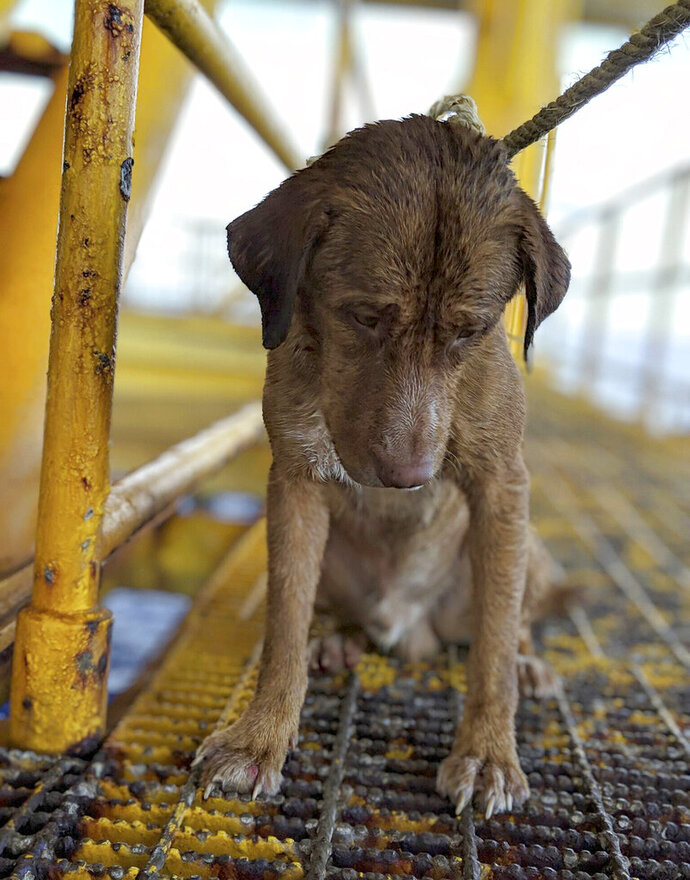In this Friday, April 12, 2019, photo, a dog sits on an oil rig after being rescued in the Gulf of Thailand.