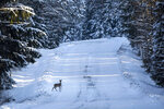 A roe deer moves across a snowy village road, as temperatures dipped to minus 21 degrees Celsius (minus 5.8 degrees Fahrenheit) near the town of Ignalina, some 120km (74,5 miles) north of the capital Vilnius, Lithuania, Sunday, Jan. 17, 2021. (AP Photo/Mindaugas Kulbis)