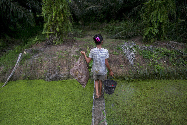 A child carries palm kernels collected from the ground across a creek at a palm oil plantation in Sumatra, Indonesia, Monday, Nov. 13, 2017. Child labor has long been a dark stain on the $65 billion global palm oil industry. Though often denied or minimized as kids simply helping their families on weekends or after school, it has been identified as a problem by human rights groups, the United Nations and the U.S. government. (AP Photo/Binsar Bakkara)