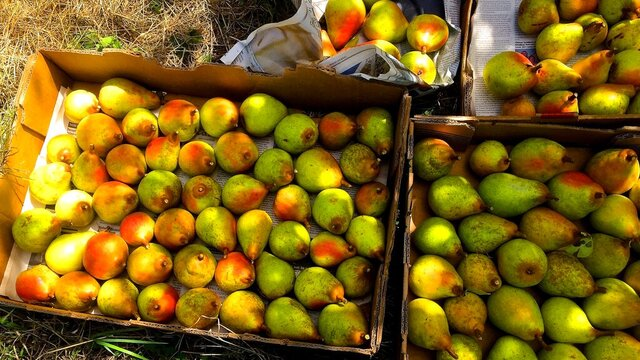These freshly picked pears, photographed Aug. 25, 2015, in a home orchard near Langley, Wash., were donated to a local food bank where they were reported to be extremely popular with its clients.Food pantries often only have access to contributions of canned fruits and vegetables. (Dean Fosdick via AP)