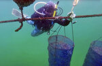 In this Tuesday, Jan. 23, 2018 frame grab from video, a diver from the Dibba Bay Oyster Farm, fixes a lantern net at the underwater oyster farm, in Dibba, United Arab Emirates. The waters of the Persian Gulf have long been home to pearl oysters. Now, off the shores of the Fujairah, an emirate with a coastline that juts out into the Gulf of Oman, a new type of oyster is thriving -- the edible kind. (AP Photo/Fay Abuelgasim)