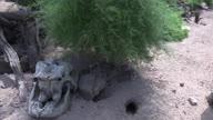 UK Heat Meerkats