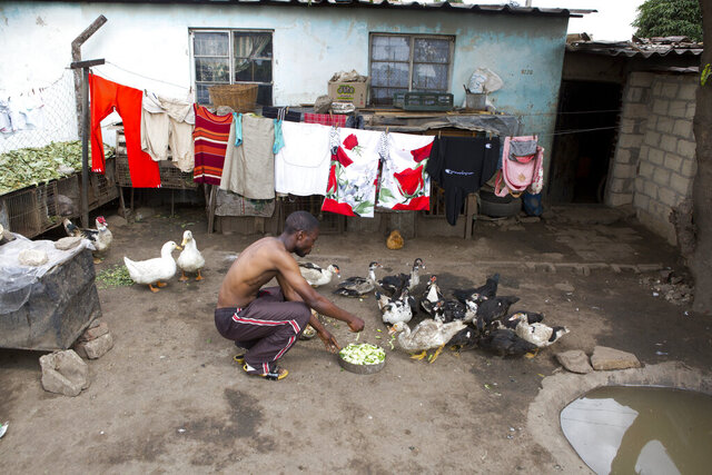 A man feeds his ducks outside his house in Harare, Zimbabwe, Monday, March, 30, 2020. Zimbabwe went into a lockdown for 21 days in an effort to curb the spread of the coronoavirus. The new coronavirus causes mild or moderate symptoms for most people, but for some, especially older adults and people with existing health problems,it can cause more severe illness or death. (AP Photo/Tsvangirayi Mukwazhi)