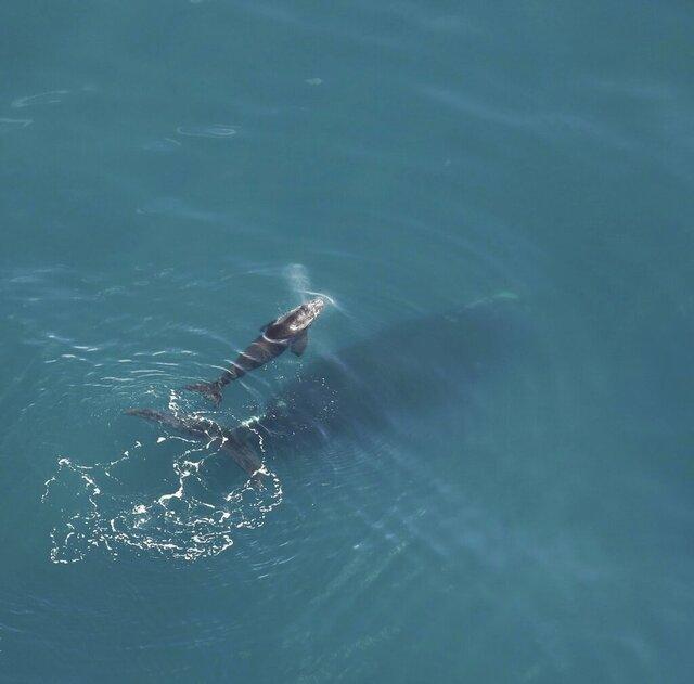 This Dec. 16, 2019, photo taken by an aerial survey team from Clearwater Marine Aquarium shows a right whale calf and its mother swimming in the Atlantic Ocean near Sapelo Island, Ga. (NOAA Permit #20556-01/Clearwater Marine Aquarium via AP)