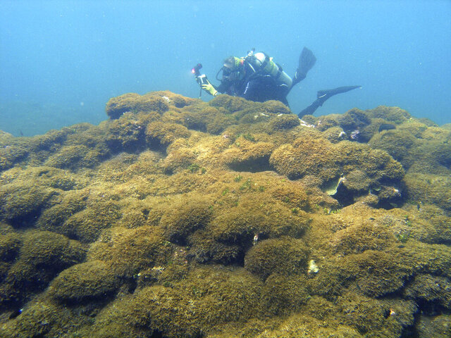In this Aug. 4, 2019 photo provided by Taylor Williams, a new species of seaweed covers dead a coral reef at Pearl and Hermes Atoll in the remote Northwestern Hawaiian Islands. Researchers say the recently discovered species of seaweed is killing large patches of coral on once-pristine reefs and is rapidly spreading across one of the most remote and protected ocean environments on earth. A study from the University of Hawaii and others says the seaweed is spreading more rapidly than anything they've seen in the Northwestern Hawaiian Islands, a nature reserve that stretches more than 1,300 miles north of the main Hawaiian Islands. The algae easily breaks off and rolls across the ocean floor like tumbleweed, scientists say, covering nearby reefs in thick vegetation that out-competes coral for space, sunlight and nutrients. (Taylor Williams/College of Charleston via AP)