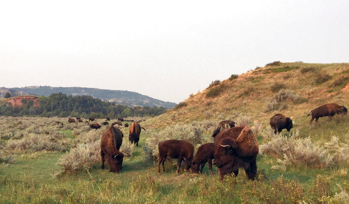 FILE -This Sept. 3, 2017, file photo shows bison grazing at Theodore Roosevelt National Park in Medora, N.D. A company began site work Monday, July 16, 2018, for an oil refinery about 3 miles from the park in western North Dakota. Several environmental groups oppose the refinery, fearing it will impact the park's scenery. (AP Photo/Beth J. Harpaz, File)