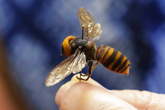 A dead Asian giant hornet sent from Japan is held on a pin by Sven Spichiger, an entomologist with the Washington State Department of Agriculture, Monday, May 4, 2020, in Olympia, Wash. The insect, which has been found in Washington state, is the world's largest hornet, and has been dubbed the
