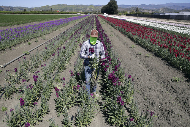FILE - In this April 15, 2020, file photo, a farmworker, considered an essential worker under the current COVID-19 guidelines, covers his face as he works at a flower farm in Santa Paula, Calif. Gov. Gavin Newsom on Friday, July 24, 2020, pledged to do more to protect Latinos and essential workers from economic and health harms caused by the coronavirus pandemic, but he said he will do so by working with the Legislature, not acting on his own. (AP Photo/Marcio Jose Sanchez, File)