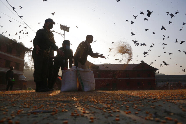 In this Tuesday, March 31, 2020, photo, staff from the Pashupatinath Development Trust feed pigeons at Pashupatinath temple, the country's most revered Hindu temple, during the lockdown in Kathmandu, Nepal. Guards, staff and volunteers are making sure animals and birds on the temple grounds don't starve during the country's lockdown, which halted temple visits and stopped the crowds that used to line up to feed the animals. (AP Photo/Niranjan Shrestha)