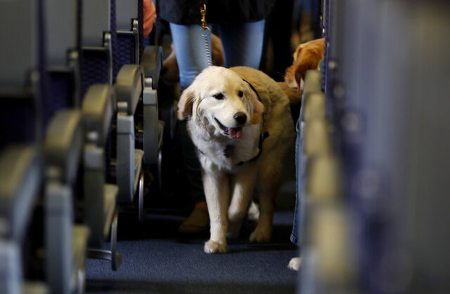 FILE - In this April 1, 2017 file photo, a service dog strolls through the isle inside a United Airlines plane at Newark Liberty International Airport in Newark, N.J., while taking part in a training exercise. United announced Friday, Jan. 8, 2021, that starting with flights in February it will no longer accept emotional-support animals. It will let trained service dogs fly for free in the cabin, but owners of other animals will have to pay a pet fee to put them in the cargo hold or a carrier that fits under a seat. (AP Photo/Julio Cortez, File)