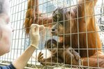 In this undated photo, released Thursday Jan. 31, 2019, by Zoo Basel, zoo keepers routinely take DNA samples from female orangutan female orangutan Maya to determine the paternity of her daughter Padma at the Basel Zoo. ( Zoo Basel via AP)