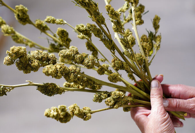 Ashley Walsh, founder of Pocono Organics farm, holds hemp buds used for research at the farm adjacent to Pocono Raceway, Friday, June 25, 2021, in Long Pond, Pa. The 380 acre farm is the title sponsor for Saturday's NASCAR auto race, The Pocono Organics CBD 325, the first Cup race with a CBD sponsorship. (AP Photo/Matt Slocum)