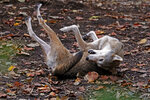 In this Oct. 10, 2019, photo a 12-year-old male red wolf rolls around in its enclosure at Virginia Living Museum in Newport News, Va. (Jonathon Gruenke/The Daily Press via AP)