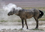 In this June 29, 2018 photo, a wild horse shakes off dust near a watering hole outside Salt Lake City. Harsh drought conditions in parts of the American West are pushing wild horses to the brink and forcing extreme measures to protect them. Federal land managers have begun emergency roundups in the deserts of western Utah and central Nevada. (AP Photo/Rick Bowmer)