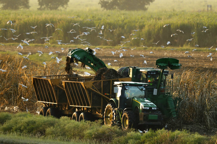 In this Friday, Oct. 25, 2019, photo, sugar cane is harvested, attracting cattle egrets in search of insects, near South Bay, Fla. Much the original Everglades wetlands have been drained to create agricultural land, depriving the ecosystem of its natural water flow. (AP Photo/Robert F. Bukaty)