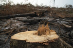 FILE - In this Aug. 31, 2019 file photo, a cut tree stands in a burned area near the Krimej indigenous village of the Kayapo indigenous group in Altamira, Para state, Brazil. Federal prosecutor Ricardo Negrini says authorities failed to act when his office warned of reports that farmers in Para had called for