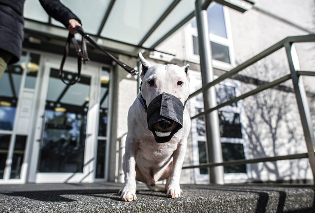 A bull terrier named 'Jagger Bonsai von Amadis' stands with his owner in front of the Higher Administrative Court in Muenster, Germany, Monday, Feb. 17, 2020. In a dispute about whether a large miniature bull terrier can still be considered miniature, two of the dogs were brought in to the Higher Administrative Court in Muenster to be examined.  While keeping miniature bull terriers allowed without any special permission, a bull terrier is considered a so-called