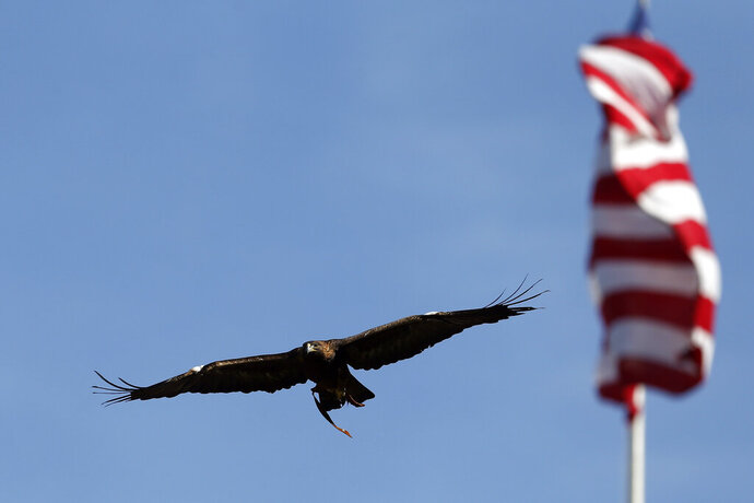 FILE- In this Nov. 14, 2015 file photo, Auburn's eagle, Nova, flies around the stadium before the start of an NCAA football game between Auburn and Georgia, in Auburn, Ala. Auburn University announced Friday. Nov. 22, 2019, that it is retiring its 27-year-old golden eagle mascot two years after it was grounded from flying at football games because of heart disease. (AP Photo/Butch Dill, File)