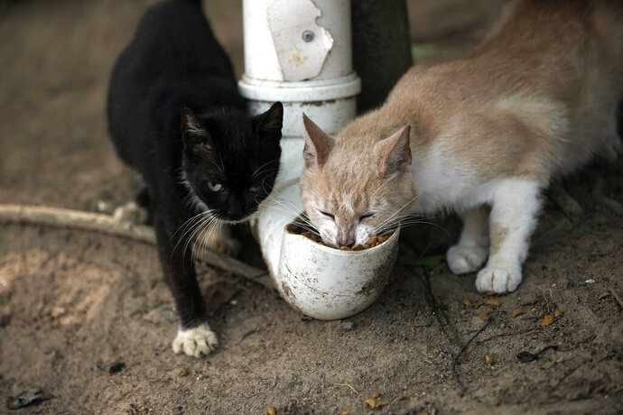 """Cats eat from a food dispenser filled up by volunteers from Animal Heart Protectors on Furtada Island, popularly known as """"Island of the Cats,"""" in Mangaratiba, Brazil, Tuesday, Oct. 13, 2020. Volunteers are working to ensure the stray and feral cats living off the coast of Brazil have enough food after fishermen saw the animals eating others' corpses, an unexpected consequence of the coronavirus pandemic after restrictions forced people to quarantine, sunk tourism, shut restaurants that dish up seafood and sharply cut down boat traffic around the island. (AP Photo/Silvia Izquierdo)"""
