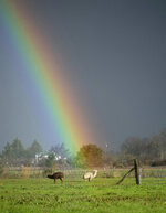 Part of a rainbow is seen behind animals in Santa Rosa, Calif., on Friday, Feb. 15, 2019. In California, rainwater continued to drain from saturated landscapes even as a new system moved into northern areas of the state and more heavy snow fell in the Sierra Nevada. (AP Photo/Josh Edelson)