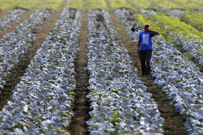 In this Friday, Nov. 1, 2019 photo, a worker arrives to hoe a vegetable farm near Belle Glade, Fla. Much of the original everglades ecosystem has been drained to create farm land. (AP Photo/Robert F. Bukaty)