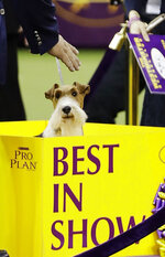 King, a wire fox terrier, poses for photographs after winning Best in Show at the 143rd Westminster Kennel Club Dog Show Tuesday, Feb. 12, 2019, in New York. (AP Photo/Frank Franklin II)