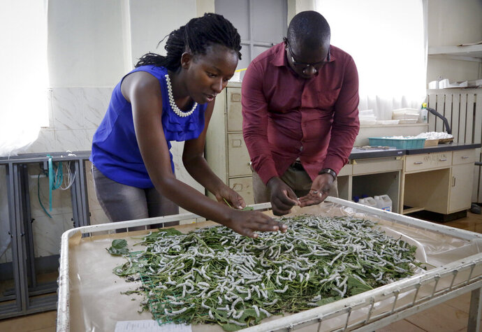 In this photo taken Friday, April 26, 2019, research assistants Catherine Ndumi Musyoka and Muthama Eric feed silkworms with mulberry leaves at the National Sericulture Research Center in Thika, Kenya. A growing number of Kenyan farmers are turning to silk production as they move away from traditional cash crops such as coffee, maize, sugarcane and cotton, with the mulberry trees the silkworms need to survive seen as less affected by a changing climate. (AP Photo/Khalil Senosi)