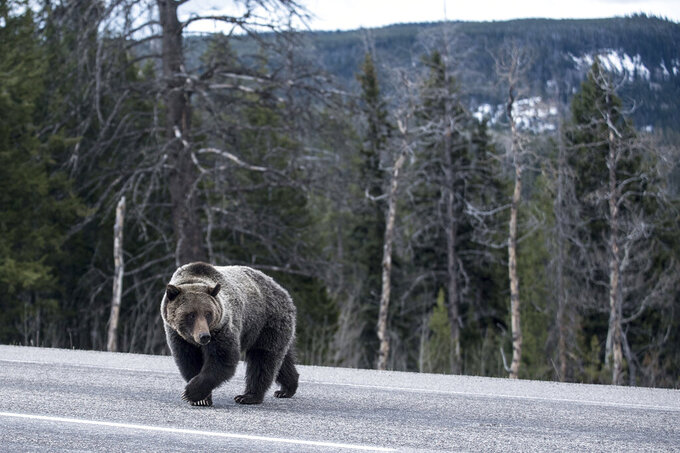 """FILE - In this May 7, 2020, file photo, grizzly bear 863, a sow known as """"Felicia"""" in wildlife watching circles, crosses U.S. Highway 26/287 east of Moran, Wyo. Felicia, the mama grizzly bear whose troubles won the hearts of the Internet, has successfully shepherded her cubs through a perilous summer. Her fans miss seeing the little bear family grazing and frolicking along Togwotee Pass. But they hope, for Felicia's sake, that she'll stay out of sight. (Ryan Dorgan/Jackson Hole News & Guide via AP, File)"""
